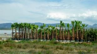 Palmowa szkółka